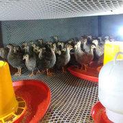 七彩山鸡苗养殖场详谈山鸡