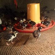 七彩山鸡养殖的饲养時间和周期时间