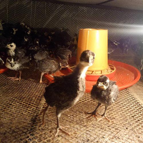 特种珍禽山鸡养殖的关键技术介绍