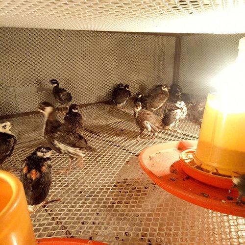 七彩山鸡苗在养殖过程中应该注意哪些事项