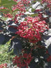 贵州大红袍花椒树苗