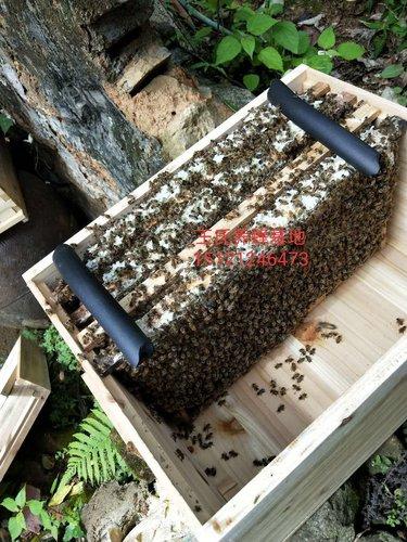 贵州中蜂批发