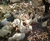 贵州鹅苗品种