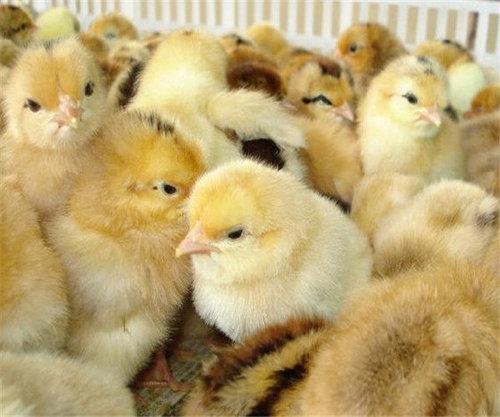 贵州土鸡苗销售厂家