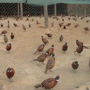 七彩山鸡苗在冬季饲养注意事项