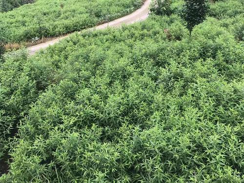 解析在夏季时桃树苗的管理方法