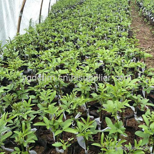 藤椒苗供应商