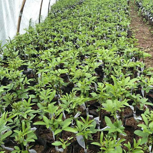 藤椒苗种植的时间有什么讲究吗?
