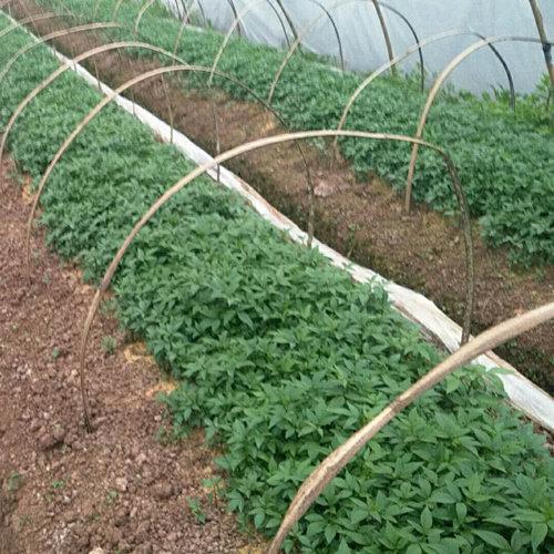 四川藤椒苗品种