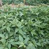 云南藤椒苗品种