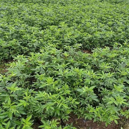 藤椒苗的种植密度应该是多少?