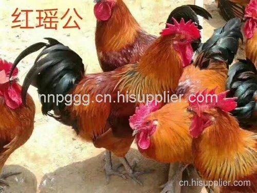贵州山鸡苗养殖场