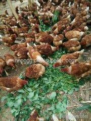 贵州贵阳山鸡苗养殖基地