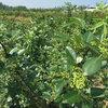 重庆藤椒苗品种