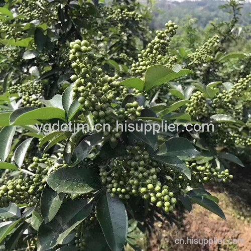 贵州藤椒苗品种
