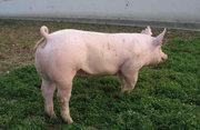 大公猪配种视频